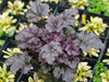 �urawka Heuchera 'Plum Pudding'